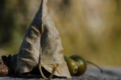 Torkade blad och ekollonar av Autumn Resting på åldrigt och ridit ut trä Arkivbilder