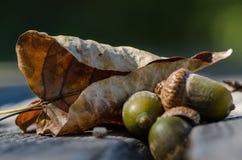 Torkade blad och ekollonar av Autumn Resting på åldrigt och ridit ut trä Royaltyfria Foton