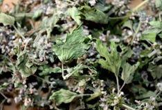 Torkade blommor av en motherwort Fotografering för Bildbyråer