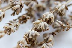 Torkade blommor med filiallavendel Royaltyfri Foto