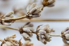Torkade blommor med filiallavendel Arkivfoto