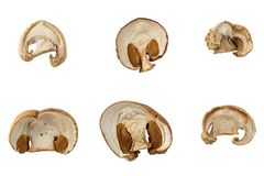 Torkade champinjoner för att laga mat Fotograferad närbild Isolerat på Arkivfoto