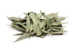 Torkade eukalyptussidor Royaltyfri Foto