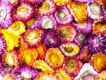 Torkade färgglade blommor Royaltyfri Fotografi