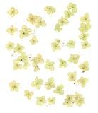 Torkade isolerade vanlig hortensiablommor Royaltyfri Foto