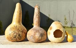 Torkade kalebasser av olika format royaltyfri bild