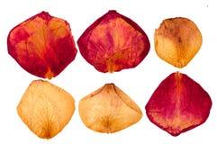 Torkade kronblad för röda och vita rosor Arkivfoto
