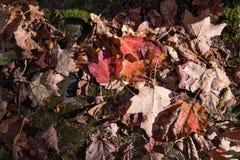 Torkade lönnlöv täckte skogen som maldes under solljus i autum royaltyfria bilder