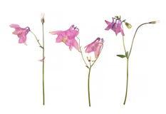 Torkade och pressande blommor av en rosa Aquilegia vulgaris aklejablomma som isoleras på en vit Arkivfoton