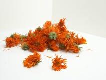 Torkade orange blommor av calendulaen Fotografering för Bildbyråer