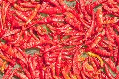 Torkade peppar för röd chili som torkar på solen, av kvinnors grupper i P Royaltyfri Foto