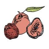 Torkade persikor räcker den utdragna illustrationen Färgpulver skissar av muttrar illustratören för illustrationen för handen för vektor illustrationer