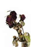 Torkade röda rosor Fotografering för Bildbyråer