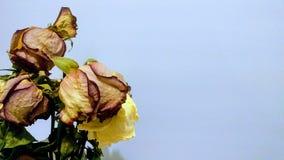 Torkade rosor på ljus - blå bakgrund Arkivfoton