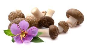 Torkade shiitakechampinjoner, kines plocka svamp p? vit bakgrund Laga mat som ?r nytt royaltyfria bilder