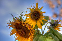 torkade solrosor Arkivfoton