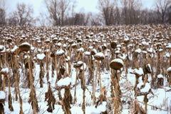 Torkade solrosor i fältet i vinter arkivbilder