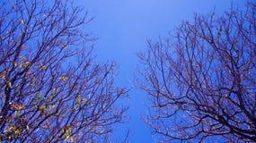 Torkade trädfilialer Royaltyfri Foto