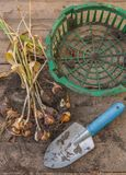 Torkade tulpan med kulor efter slutet av vegetation på en wo Royaltyfri Fotografi