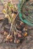 Torkade tulpan med kulor efter slutet av vegetation på en wo Arkivfoto