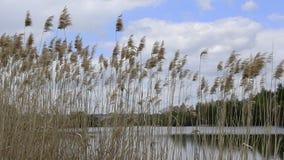 Torkade växter för gemensam vass eller vattenvasser i vinter, gräs-som växter av våtmarker och att växa i breda flodmynningen av lager videofilmer