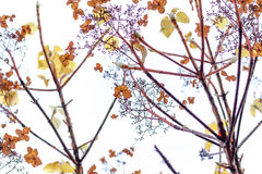 Torkade vanliga hortensior på vit bakgrund Royaltyfri Fotografi