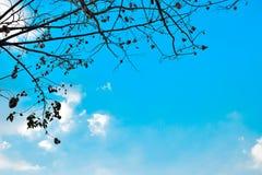 Torkade vinterträdfilialer och sidor med bakgrund för blå himmel Arkivfoton
