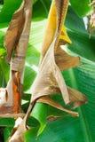 Torkat bananblad Fotografering för Bildbyråer