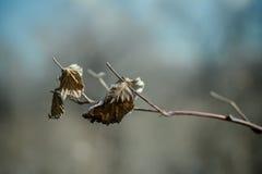 Torkat blad som tätt fotograferas upp Royaltyfri Fotografi