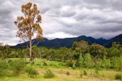 Torkat eukalyptustr?d i en skog royaltyfria foton