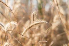 Torkat gräs blommar på en bakgrund Fotografering för Bildbyråer