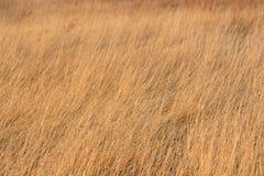 Torkat gult gräs Royaltyfri Bild