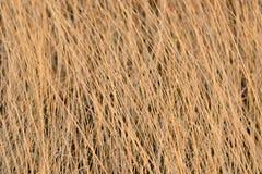 Torkat gult gräs Royaltyfria Bilder