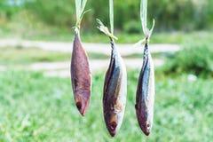 Torkat hänga för fishs Arkivfoto