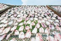 torkat netto tioarmad bläckfisksolljus Royaltyfri Foto