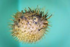 Torkat och bevarat antikt prov för pufferfisktetraodontidae arkivfoton