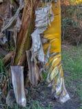Torkat pisangblad som hänger fortfarande från trädet royaltyfria foton