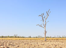 Torkat träd Royaltyfria Foton