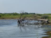 Torkat träd i floden arkivfoton