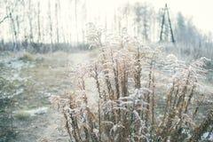 Torkat upp den blommande växten som täckas med rimfrost i den tidiga winten Royaltyfri Bild