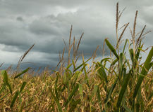 Tormenta en el campo de maíz Fotografía de archivo libre de regalías