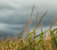 Tormenta en el campo de maíz Fotos de archivo