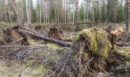 Tormenta indeseada visitada en el bosque joven del pino Imágenes de archivo libres de regalías