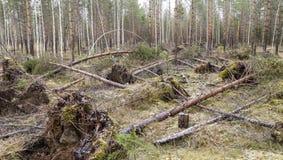 Tormenta indeseada visitada en el bosque joven del pino Fotos de archivo libres de regalías