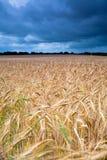 Tormenta sobre un fiield del trigo de Norflok Foto de archivo