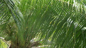 Tormenta tropical en las palmeras verdes - tiro ancho 4k de las fuertes lluvias almacen de video