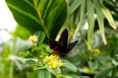 Tormentatore cremisi di Rose Butterfly Pachliopta fotografie stock libere da diritti