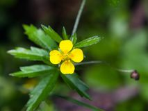 Tormentil или макрос цветка erecta лапчатки septfoil, селективный фокус, отмелый DOF Стоковые Изображения RF