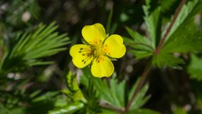 Tormentil or septfoil Potentilla erecta flower macro, selective focus, shallow DOF.  stock photo