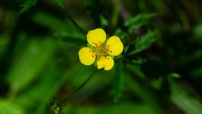 Tormentil or septfoil Potentilla erecta flower macro, selective focus, shallow DOF.  royalty free stock photography